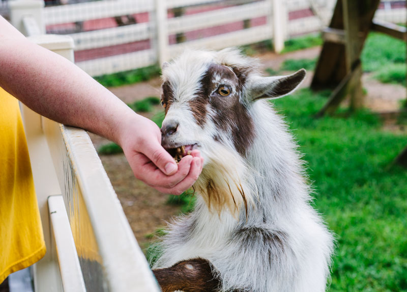 Goats at the Petting Zoo